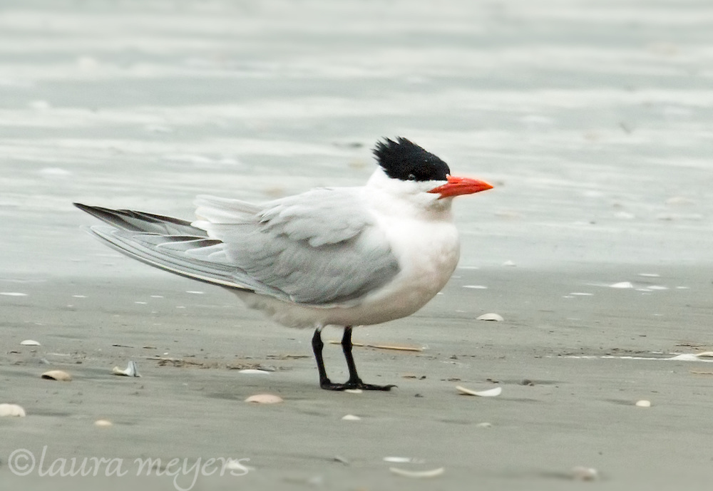 Royal Tern Breeding Plumage