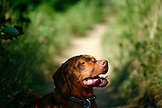 SHOT 7/20/08 9:16:37 AM - Hiking on Apex Trail in Golden, Co.  (part of Jefferson County Open Space) with Tanner, a male Vizsla. Tanner's tongue and breathing attempt to keep him cool as he pants while sitting in the shade along the trail in the hot morning sun. Thermoregulation is the ability of an organism to keep its body temperature within certain boundaries, even when temperature surrounding is very different. This process is one aspect of homeostasis: a dynamic state of stability between an animal's internal environment and its external environment (the study of such processes in zoology has been called ecophysiology or physiological ecology). If the body is unable to maintain a normal temperature and it increases significantly above normal, a condition known as heat stroke occurs. The opposite condition, when body temperature decreases below normal levels, is known as hypothermia. Due to the proximity of Denver, this is a popular trail. Although it can be crowded on weekends and evenings during the week, it still provides a great getaway from the city. The park has a variety of trails. You'll be able to ride ridges overlooking the city, through a dense forest, or through a secluded valley. This valley, known as Apex Gulch was actually one of the original wagon trails that lead up to Central City. The Apex Trail system is popular with hikers and mountain bikers as well..(Photo by Marc Piscotty / © 2008)