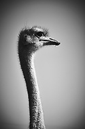 Ostrich. Look at me..