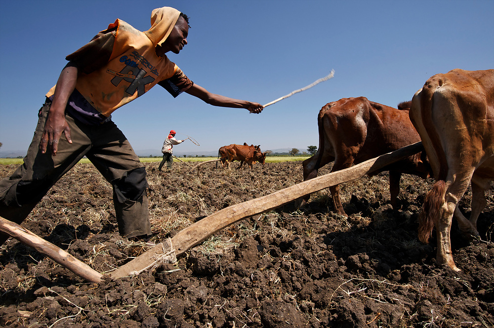 Men plow fields near Waliso in southern Ethiopia with teams of oxen. Using plows that are nearly timeless they are plowing fields that were planted to teff. These are not the more modern mouldboard plows that actually roll the soil over, but just a sort of spike that breaks the ground up. <br /> <br /> The men plowing were: Ayele Terefe in the orange shirt with the stick, and Teshome Negese with the red and white shirt.<br /> <br /> Contact: Woudyalew Mulatu<br /> ILRI Ethiopia<br /> w.mulatu@cgiar.org<br /> Mobile: +251 911 40 91 89<br /> PO Box 5689<br /> Addis Ababa, Ethiopia<br />   <br /> Contact: Shirley Tarawali<br /> Theme Director - People, Livestock, and the Evironment<br /> ILRI Ethiopia<br /> s.tarawali@cgiar.org<br /> Tel: +251 11 617 2221<br /> Tel: +251 91 164 5738<br /> PO Box 5689<br /> Addis Ababa, Ethiopia