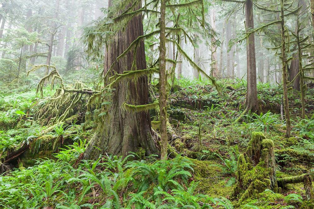 Morning mist envelopes old growth forest along Cascade River Road, Mount Baker-Snoqualmie National Forest, Washington.