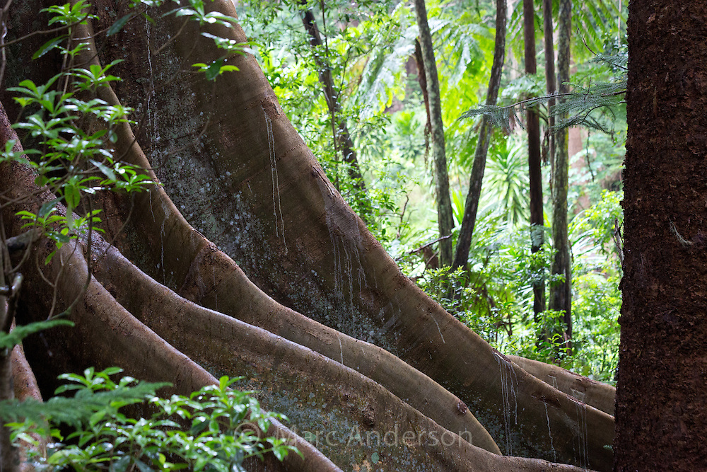 Buttress roots of a strangler fig, Norfolk Island, Australia