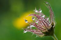 Seedhead from Pulsatilla sp., Augstenberg, Liechtenstein