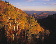 Aspen trees (Populus tremuloides) tinted with autumn colors brighten the view in to Roaring Springs Canyon, Grand Canyon Natl. Park, Arizona..Subject photograph(s) are copyright Edward McCain. All rights are reserved except those specifically granted by Edward McCain in writing prior to publication...McCain Photography.211 S 4th Avenue.Tucson, AZ 85701-2103.(520) 623-1998.mobile: (520) 990-0999.fax: (520) 623-1190.http://www.mccainphoto.com.edward@mccainphoto.com
