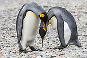 Courting King Pengiuin (Aptenodytes patagonicus) couple, Fortuna Bay, South Georgia