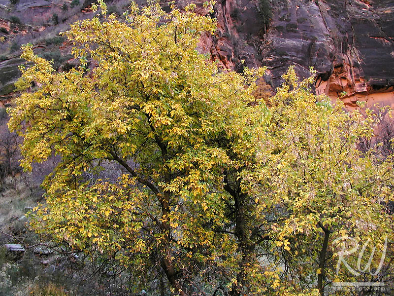 Fall Foliage, Zion National Park, Utah