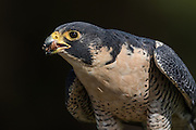 Peregrine Falcon eating prey at the Center for Birds of Prey November 15, 2015 in Awendaw, SC.