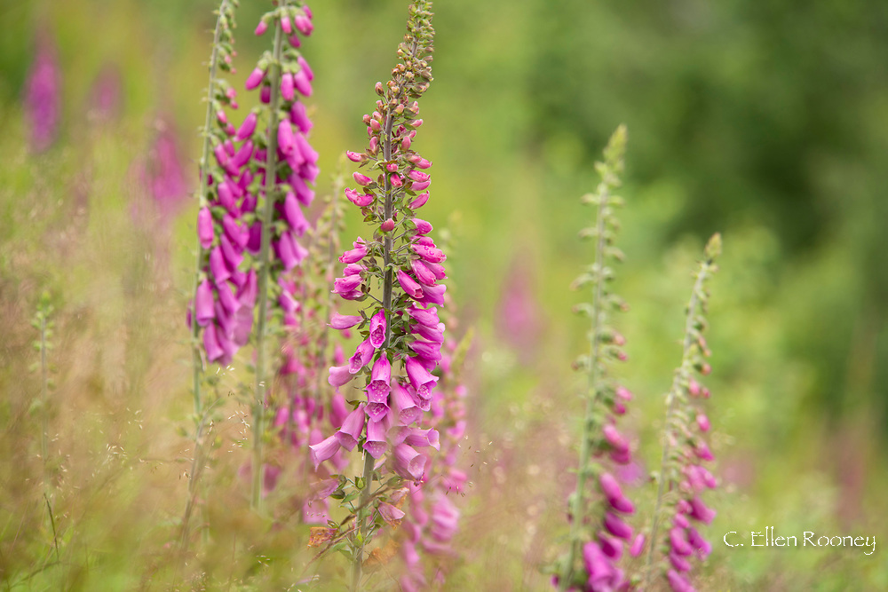 Digitalis growing on a hillside in Norway, Europe