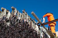 Man hanging fish on rack Norway
