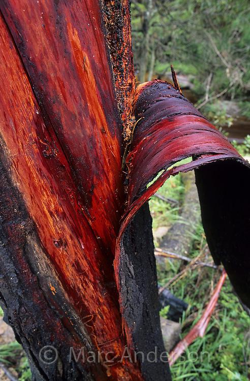 Bark peeling off of a Blood Bark Eucalyptus Tree revealing the deep red inner layers of bark.