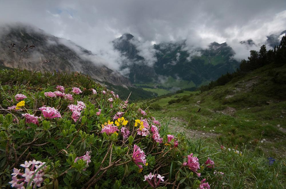 Daphne striata; Fairy Garland Flower, Augstenberg, Liechtenstein