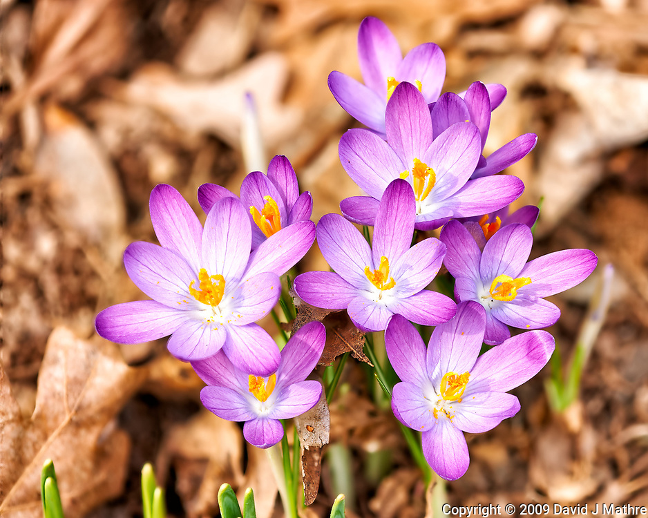 Purple crocus blooms. Late winter nature in New Jersey. Composite of 18 focus stacked images taken with a Nikon D3x camera and 200 mm f/2 lens (ISO 400, 200 mm, f/5.6, 1/500 sec). Raw images processed with Capture One Pro and Helicon Focus (method A)