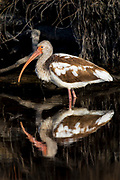 Reflection of a immature white Ibis.