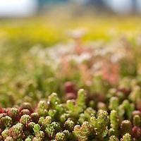 Nederland Rotterdam 29-05-2009 20090529 Foto: David Rozing .Op het dak van de centrale bibliotheek aan de Oostblaak is groene dakbedekking aangelegd, gele en roze bloementjes vetplanten en mos soorten. Op de achtergrond een deel van de skyline van Rotterda centrum. De gemeente stimuleert het aanleggen van groene daken met subsidies. Het dak wordt bedekt met sedums, een soort vetplant. The roof of a building is covered with plants. The building of so called green roofs is stimulated by the city of Rotterdam.Holland, The Netherlands, dutch, Pays Bas, Europe , leefmilieu, Daken met begroening,Sedumdak,Kruidendak, Grasdak,vegetatiedak, energiebesparing, energie besparen, begroeiïng..Foto: David Rozing