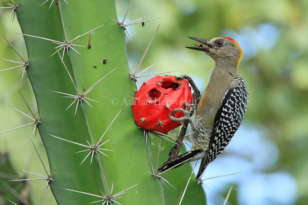 Hoffmann's woodpecker (Melanerpes hoffmannii) feeding on fruit of cactus (Acanthocereus tetragonus), Guanacaste, Costa Rica.