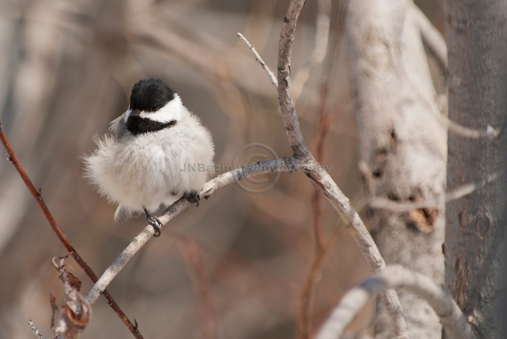 The wind ruffles a chickadee's feathers.