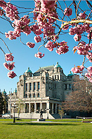 Pink flowering trees burst full with blossoms by the parliament Legislative Buildings in Victoria, BC