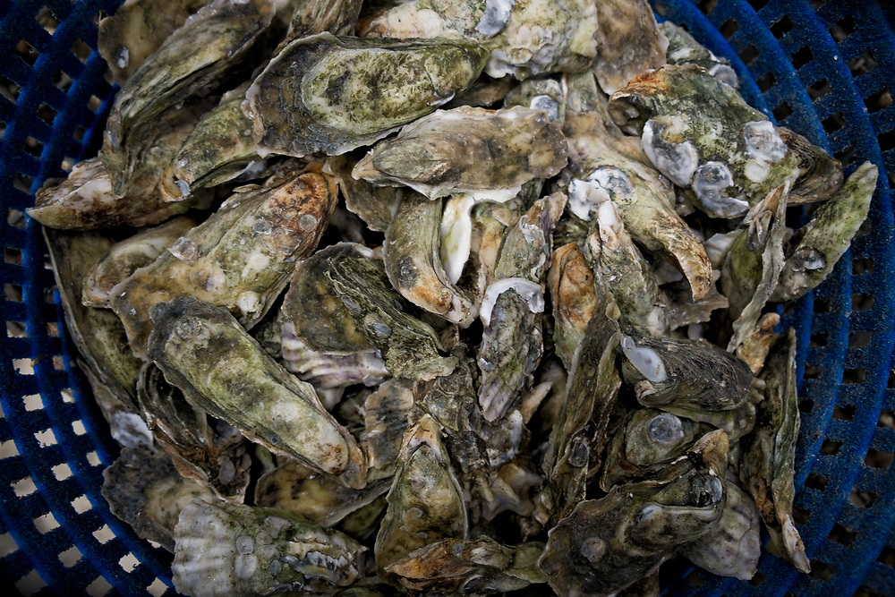 A basket of Ace Blade Oysters sit in a cooler ready to be bagged and delivered to a local Cahrleston restaurant.