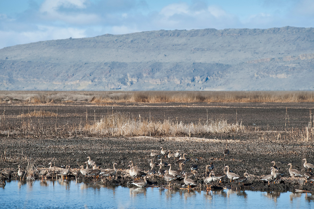White-fronted Geese, Anser albifrons, Tule Lake National Wildlife Refuge, Klamath Basin wetlands, California