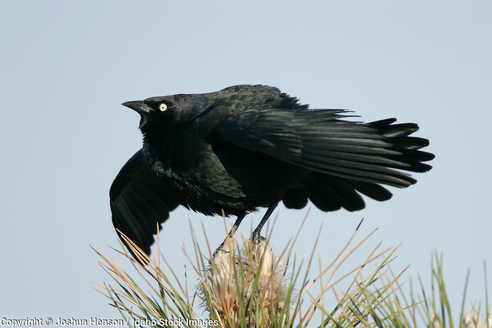 IDAHO. Near Kuna. Male Brewer's Blackbird (Euphagus cyanocephalus).