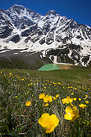 Buttercup (Ranunculus repens) Russia, Caucasus, Bluebell (Camanula sp.). Lake Donguzorun with Mount Donguzorun mountains behind. Plants.