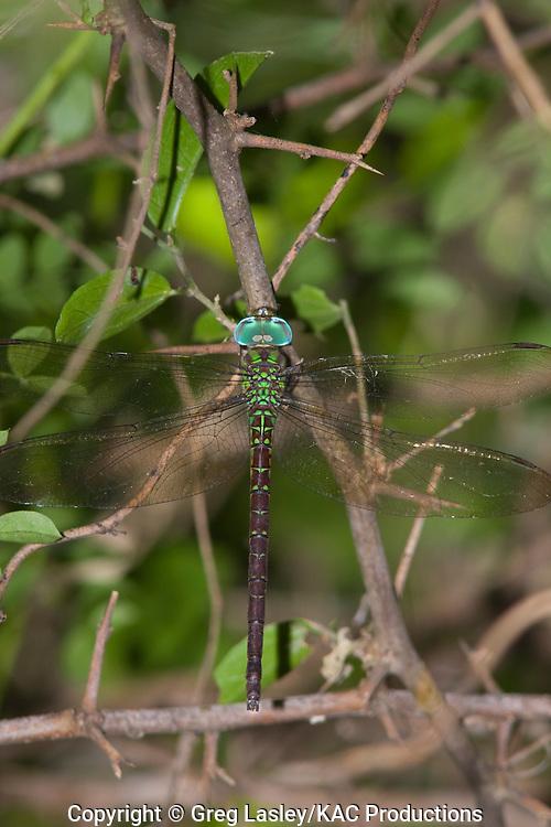 Caribbean Darner.Triacanthagyna caribbea.female - missing appendages.Santa Ana N.W.R.,.Hidalgo Co., Texas.20 September 2008