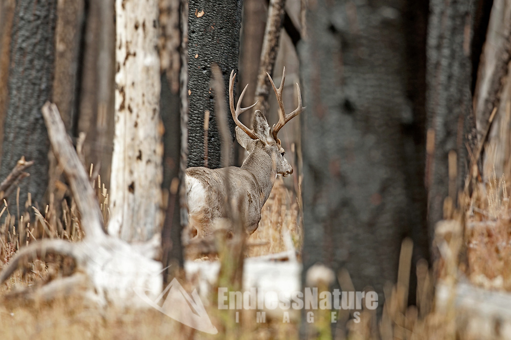 A Mule Deer buck moves through the burnt trees in Yellowstone National Park.