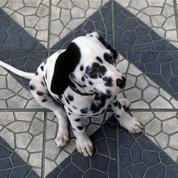 Dalmatian puppy sitting on tilesat beach, Rio de Janiero, Brazil