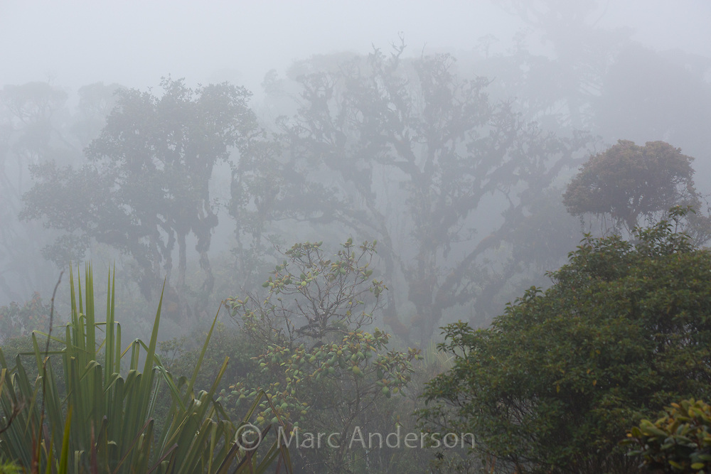 Trees and vegetation in the lush, misty cloud forest in Enga Province in the Papua New Guinea highlands.