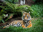 Sumatran Tiger at the San Diego Safari Park (there are fewer than 400 of these tigers left in the world)