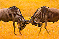 Blue Wildebeest (gnu) sparring, Ngorongoro Crater, Ngorongoro Conservation Area, Tanzania
