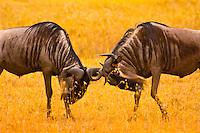 Blue Wildebeest (gnu) sparring, Ngorongoro Crater, Ngorongoro Conservation Area, Tanzania