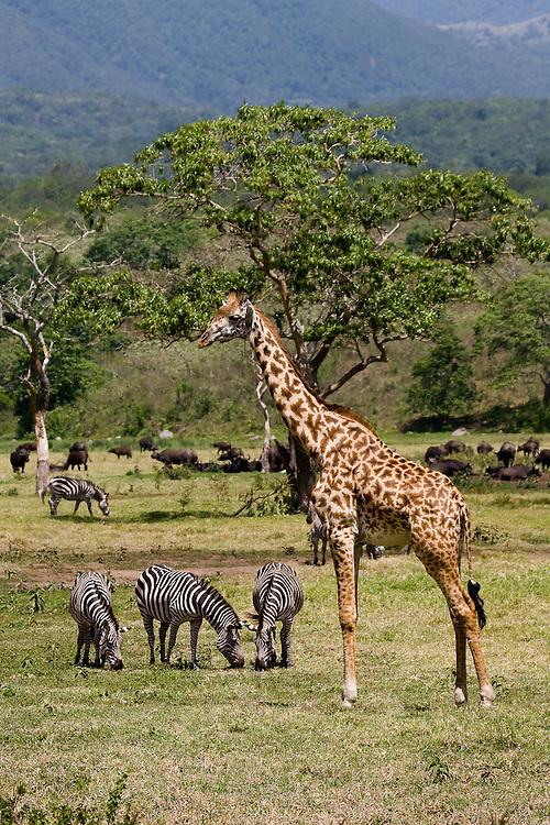 (Giraffa camelopardalis, Equus burchellii) A giraffe and small group of zebras graze in a peaceful valley in Arusha National Park, Tanzania.