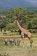 (Giraffa camelopardalis, Equus burchellii) A giraffe and small group of zebras graze in a peaceful valley in Arusha National Park, Tanzania.
