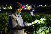 Migrant workers from Guatemala's south coast pick celerly in Almolonga in the middle of the night. Celerly is a non-traditional crop in Guatemala, and like much of the produce in Almolonga, most of it is grown for export rather than domestic consumption.