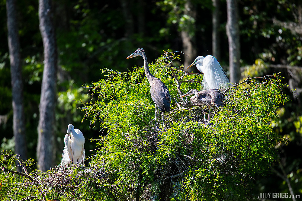 Each year, hundreds of egrets, herons, and other waterfowl nest within feet of the walking path. <br /> Audubon Swamp Garden at Magnolia Plantation and Gardens.