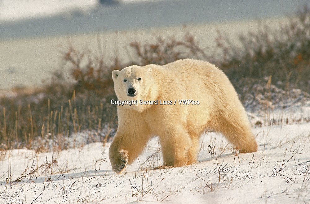 POLAR BEAR thalarctos maritimus, ADULT WALKING ON SNOW, CHURCHILL IN MANITOBA, CANADA