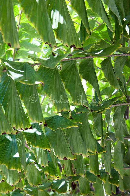 Caryota urens (Fishtail palm, Toddy palm).<br /> Palm Canyon, Balboa Park, San Diego, CA, USA.