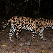 Indochinese leopard (Panthera pardus delacouri), also known as South-Chinese leopard.