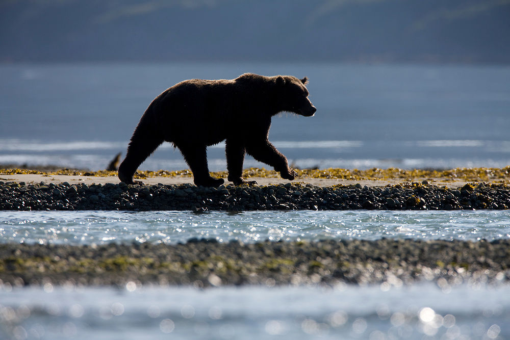 USA, Alaska, Katmai National Park, Kukak Bay, Brown Bear (Ursus arctos) walking along shoreline in late summer