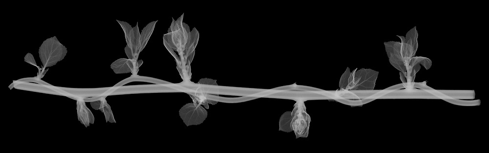 X-ray image of twisting Oriental bittersweet (Celastrus orbiculatus, white on black) by Jim Wehtje, specialist in x-ray art and design images.