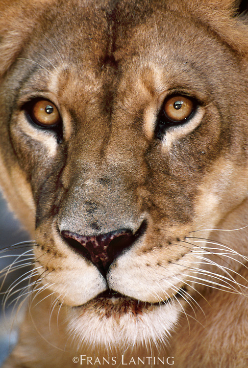 Lion face, Panthera leo, Masai Mara, Kenya