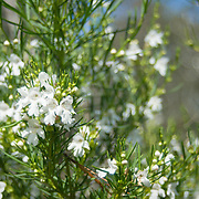 White flower bloom in You Yangs National Park, Victoria, Australia