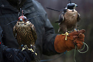 Falcons belonging to members during a meet of the Cheshire Hawking Club at Brimstage, Wirral.