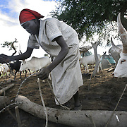 Dinka cattle herders tie up their cows for the evening at their cattle camp. Cows are Dinkaland's diamonds. They are exchanged upon marriage and handed out as prized gifts. They stand for beauty, status and wealth, and the Dinka are so devoted to them, that they would rather live off milk (with a little sorghum here and there) than steak.