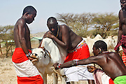 Kenya, Samburu Masai (Also Maasai) Tribesmen an ethnic group of semi-nomadic people. Maasai men bleeding a cow to produce the Blood Milk they drink.