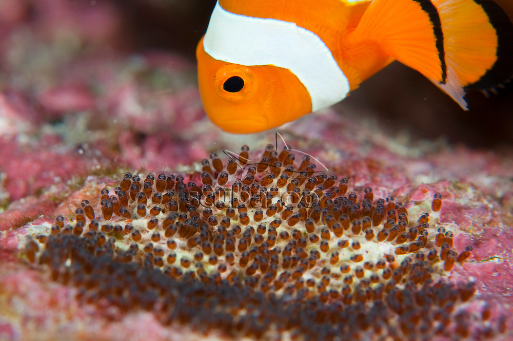 False clown anemonefish, Amphiprion ocellaris, tending eggs, Bunaken, Manado, North Sulewesi, Indonesia.