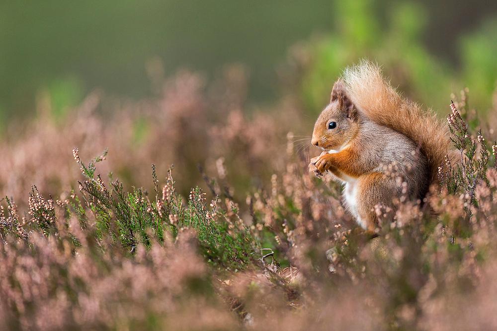 Red Squirrel (Sciurus vulgaris) feeding on seeds amongst Common Heather (Calluna vulgaris), Cairngorms, Scotland, January, 2013.