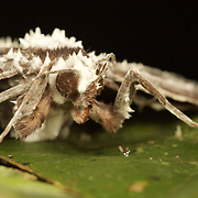 Cordyceps tuberculata is a parasitic fungi that attacks Lepidoptera.
