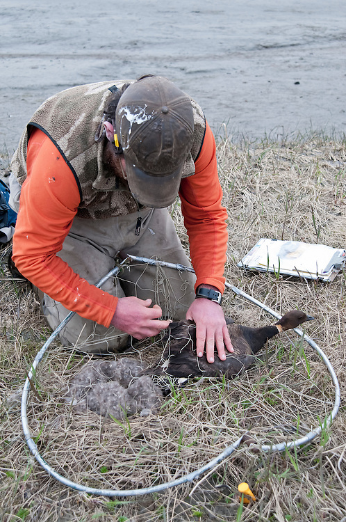 Black Brant; Branta bernicla nigricans, female trapped at nest, Yukon Delta NWR, Alaska